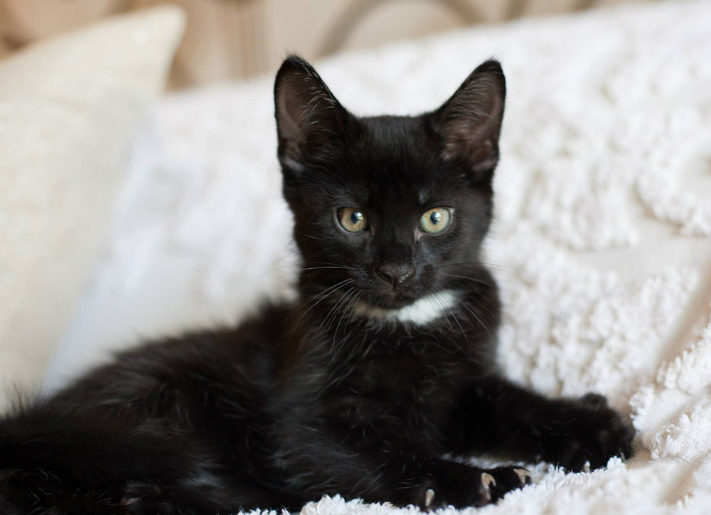 the_Figaro_Archives_Cosmo_Black_Kitten.jpg