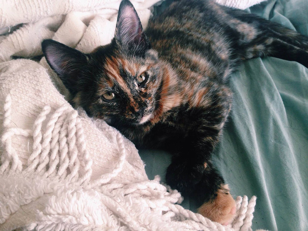 the_Figaro_Archives_Ruby_Tortoiseshell_Kitten.jpg