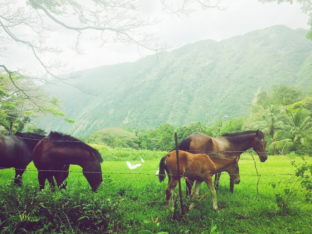 Wild horses in the Waipi'o Valley