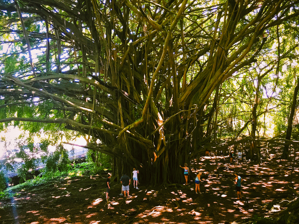 Massive Banyan tree at Rainbow Falls