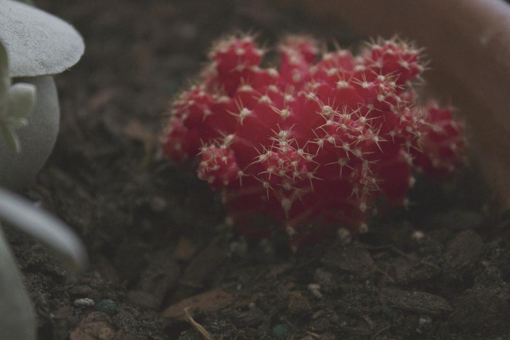Gynocalycium mihanovichii
