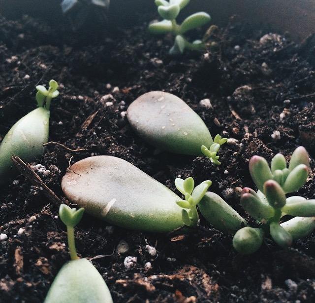 Echeveria babies andSedum rubrotinctum