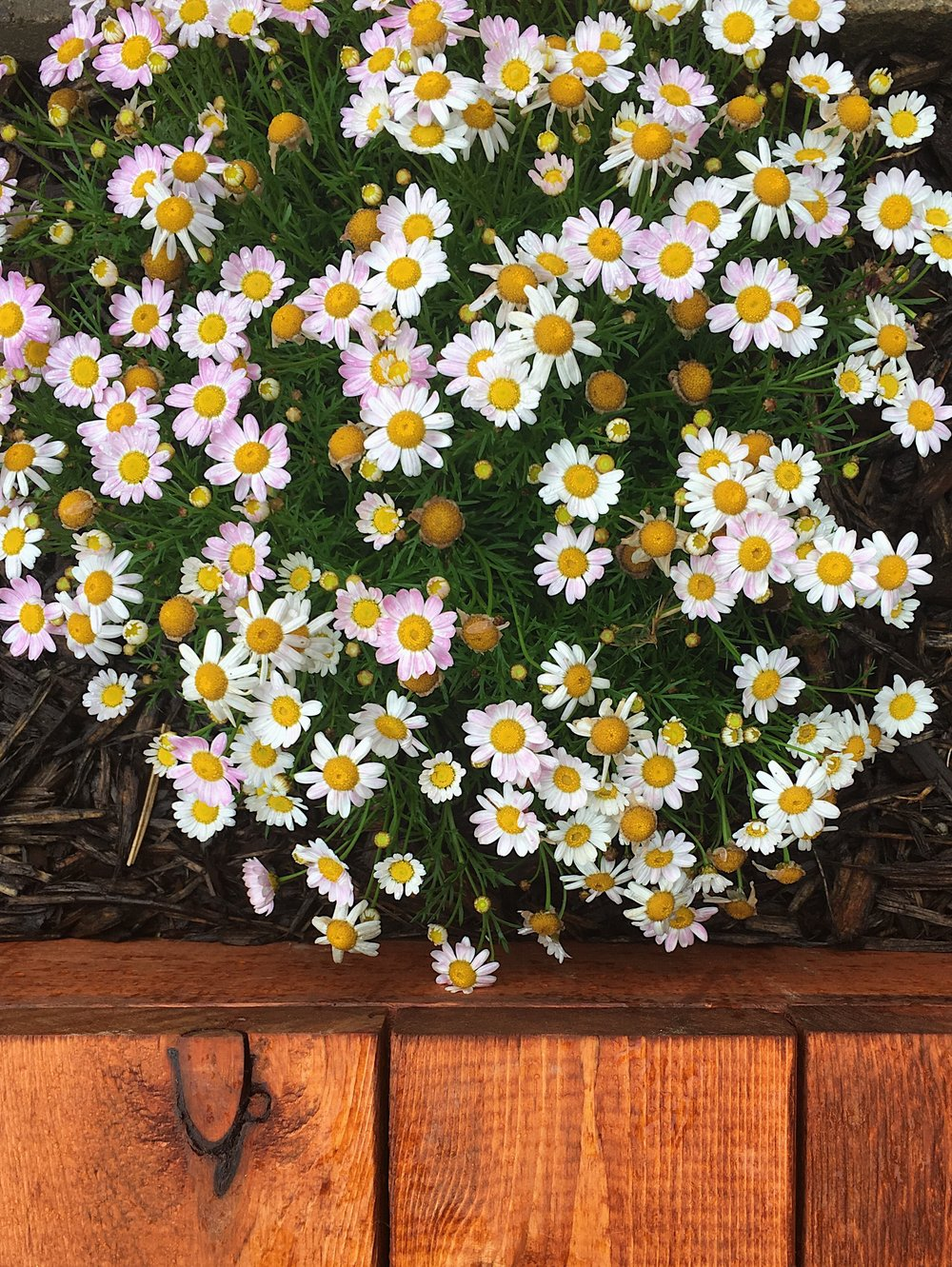 The color changing daisies!