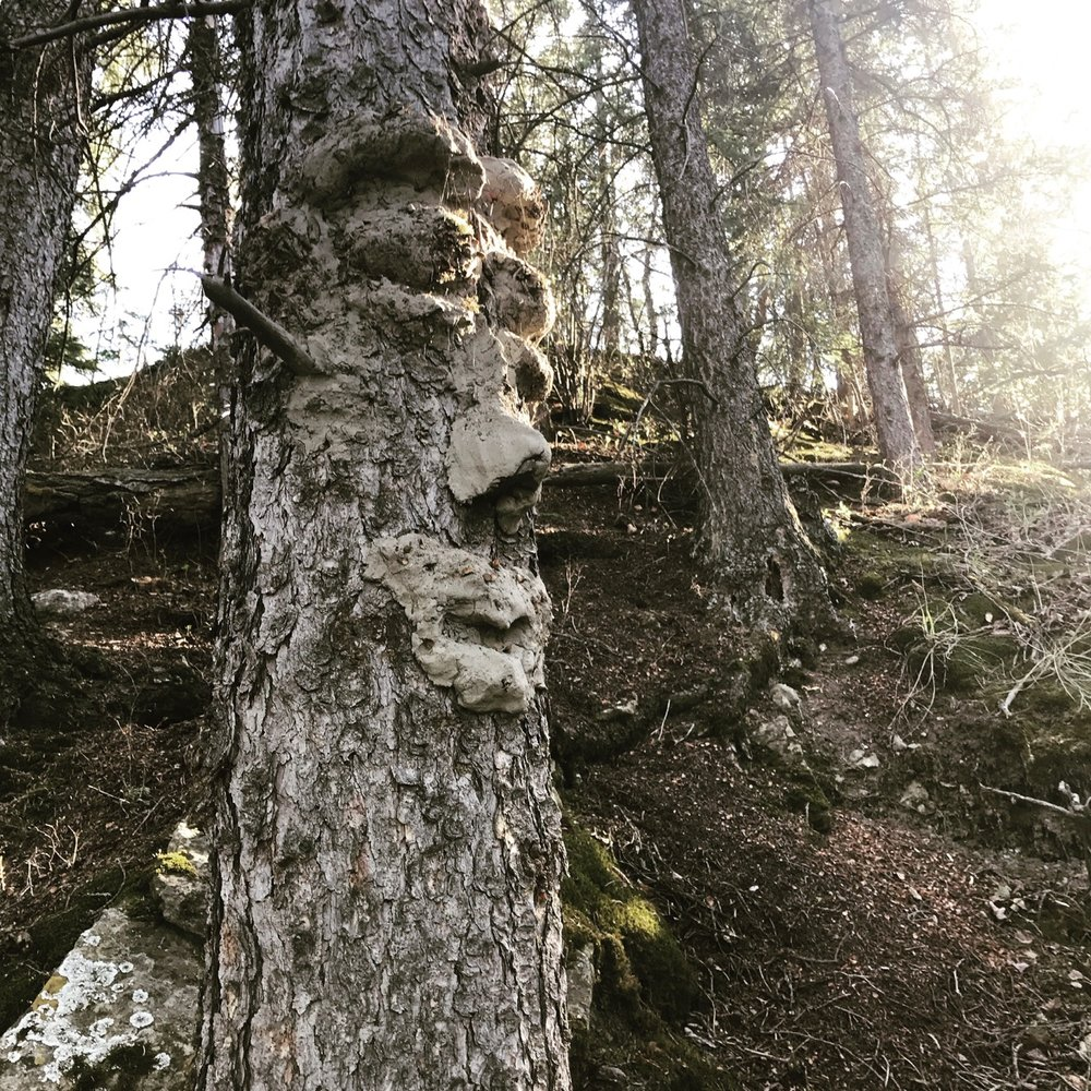 A clay-face sculpted on a tree by the irrepressible Dave Kelly on the Pierce property, just West of Calgary.