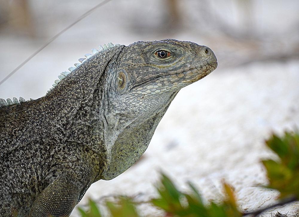 Iguana Island, Turks-Caicos 2015