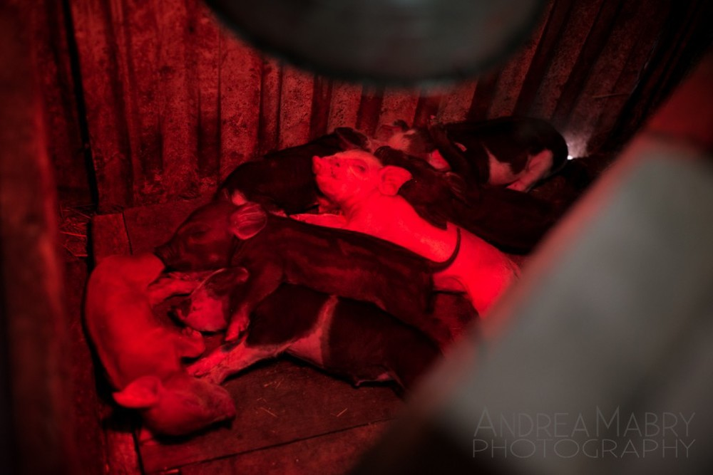 Tiny baby piglets get some rest under a heat lamp in the barn.