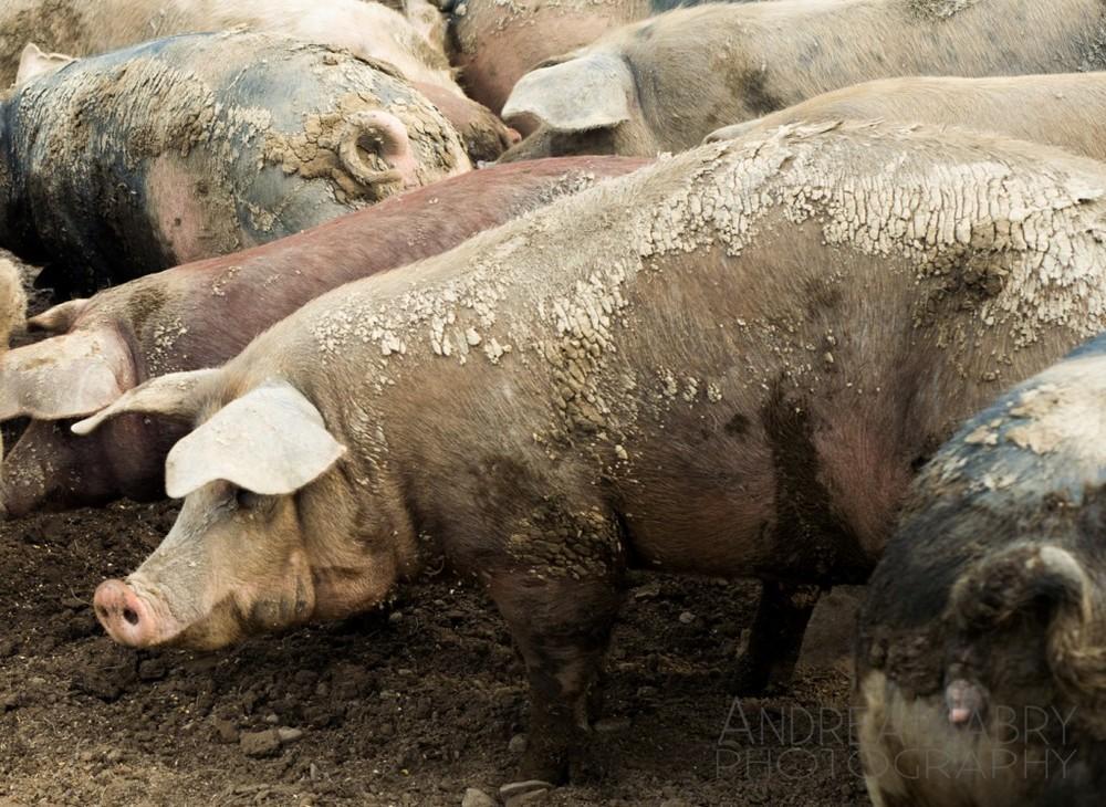 Big pigs.