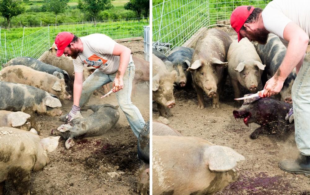 clawhammer-pigs-1024x645.jpg
