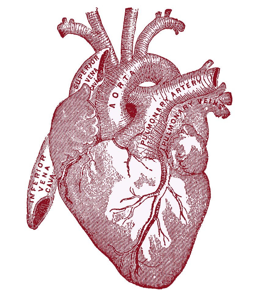 heart-vintageanatomy.jpeg