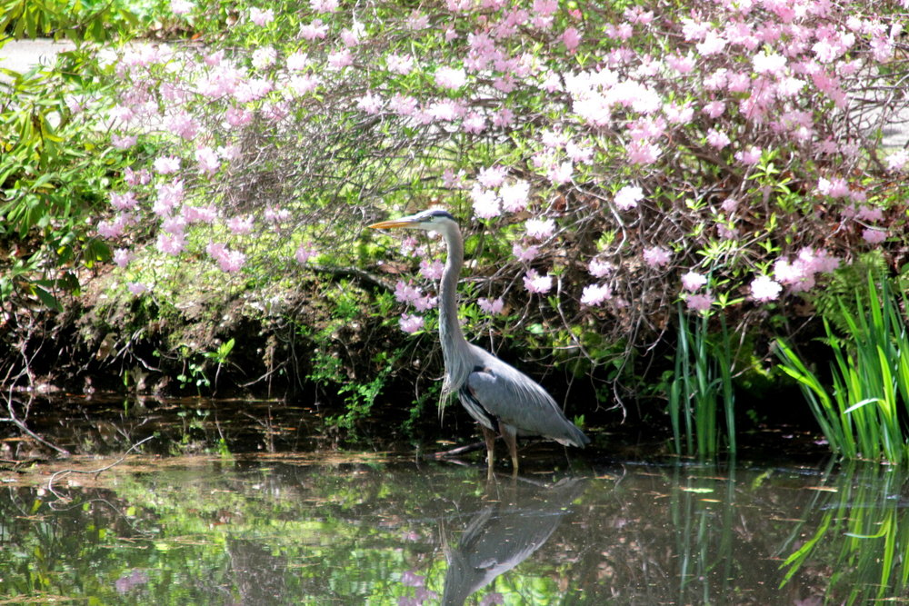 Great blue heron at Mt. Auburn Cemetery