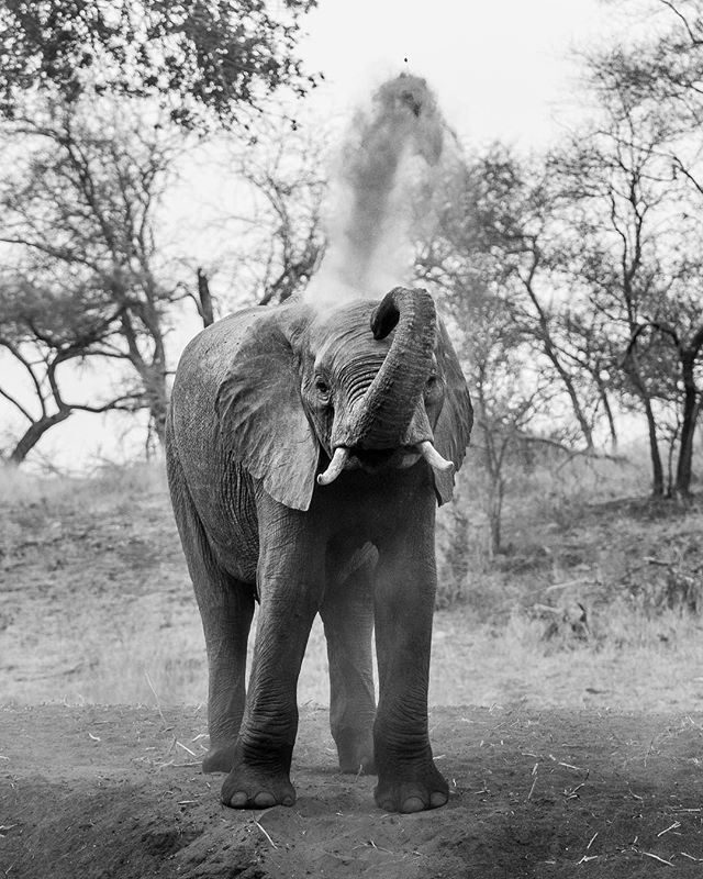🐘🚿 There's nothing quite like a good dust bath! . Which of these photos do you prefer? B&W, Sepia or Color? . Let me know in the comments below! ⬇️