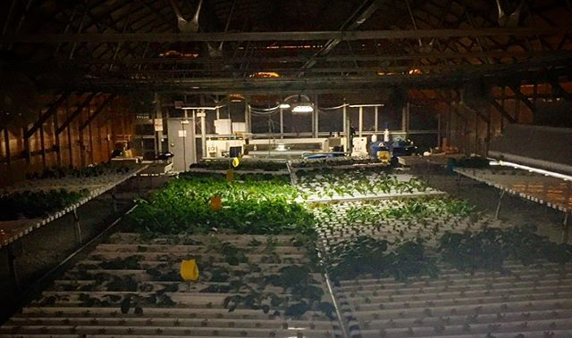 Good night 🌱🌙#herbanproduce #greenhouse #urbanfarming #hydroponics