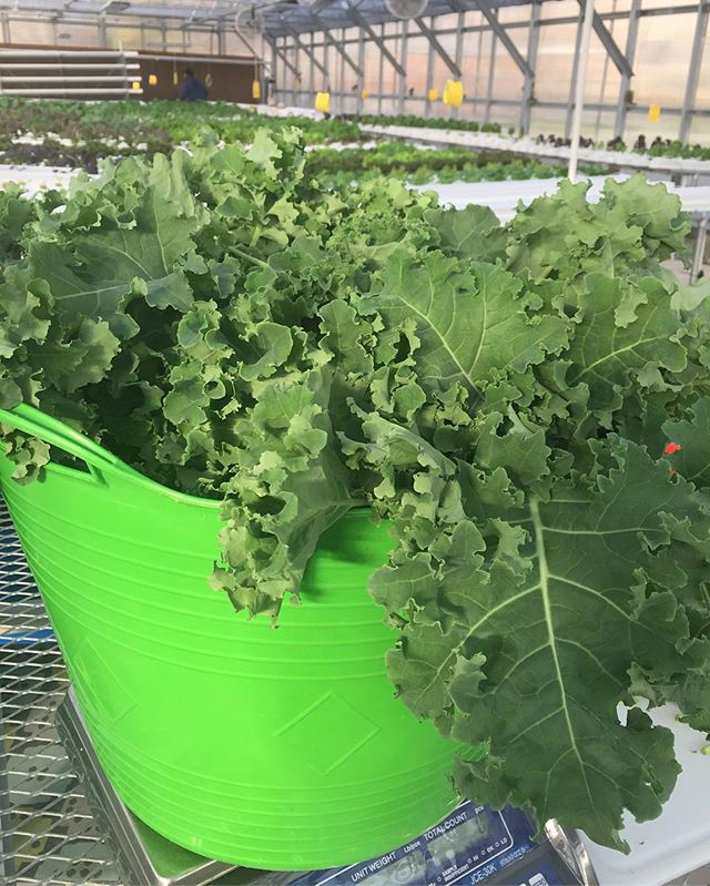 Got Kale! #herbanproduce #kale #hydroponics #urbanfarming #greenhouse #harvestmoon #harvest