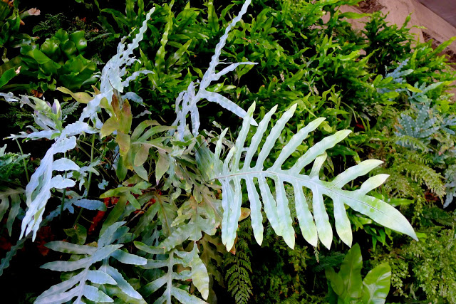 Blue Star Fern used in the Florafelt vertical garden system.