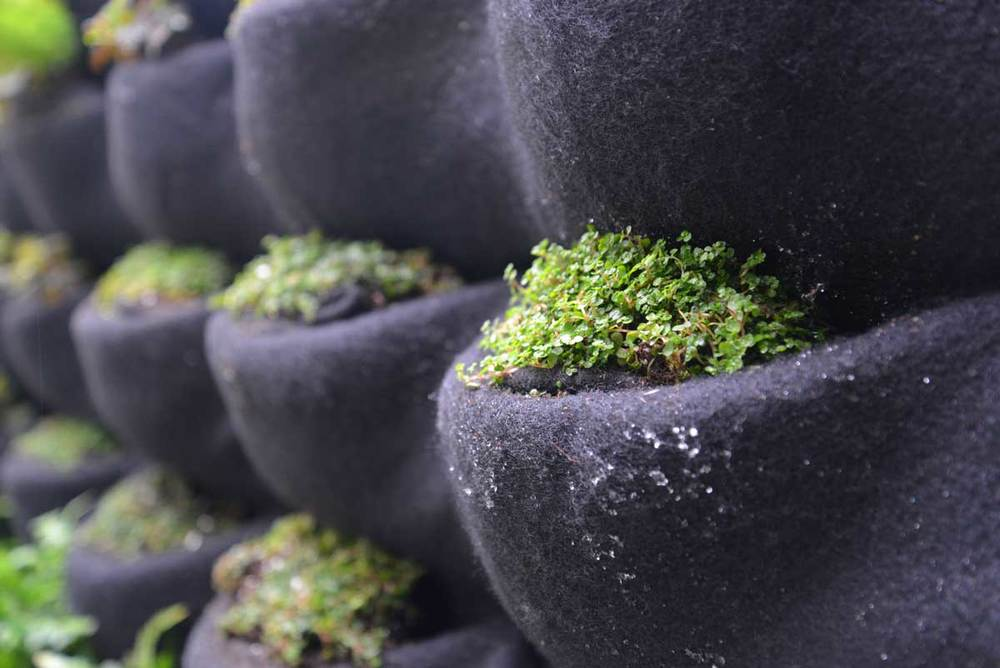 Baby tears newly planted in Florafelt Vertical Garden Planters.