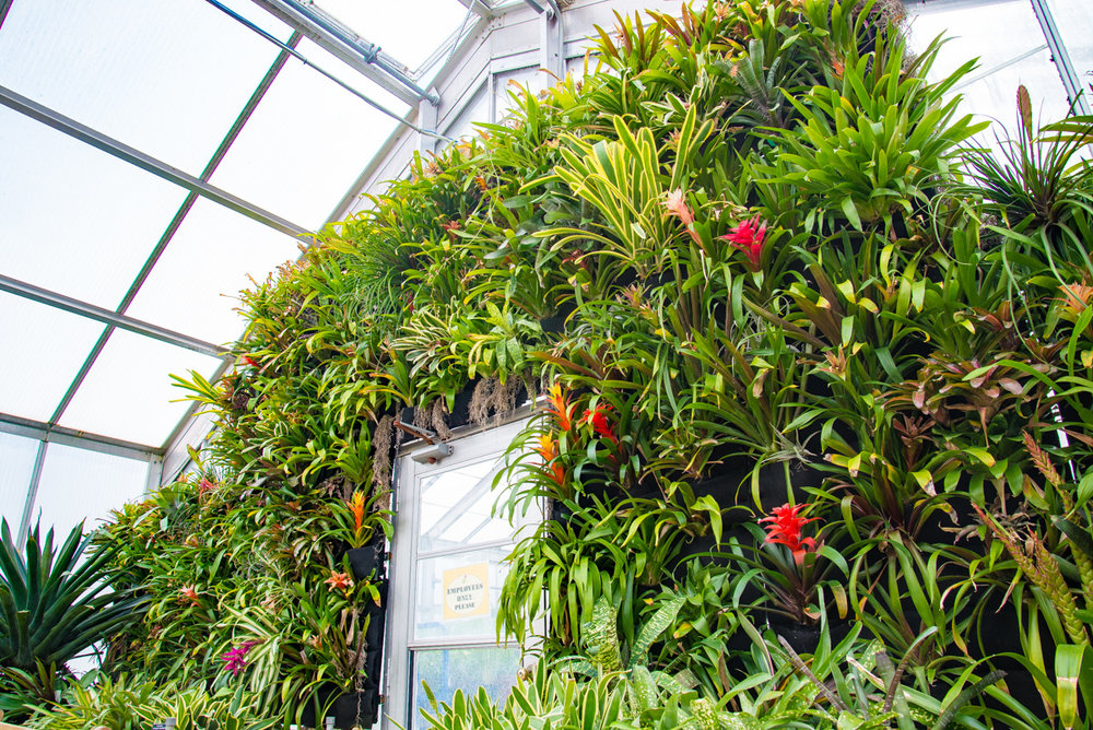 Bromeliads growing in a Florafelt Vertical Garden at Kingwood Center Gardens greenhouse.