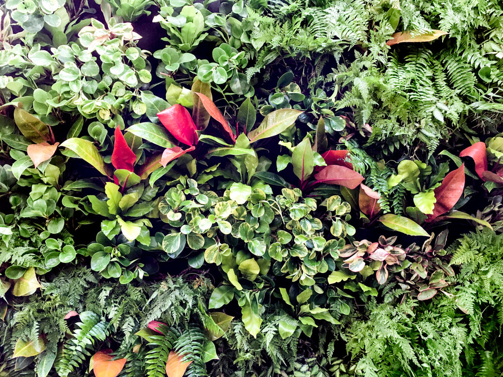 A combination of philodendron, peperomia and ferns make for a delightful living wall.