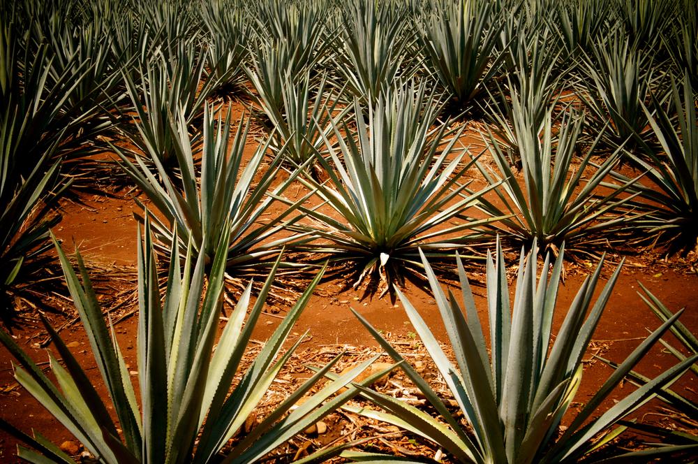Tequila, Jalisco - Foto cortesía de La Cava del Tequila