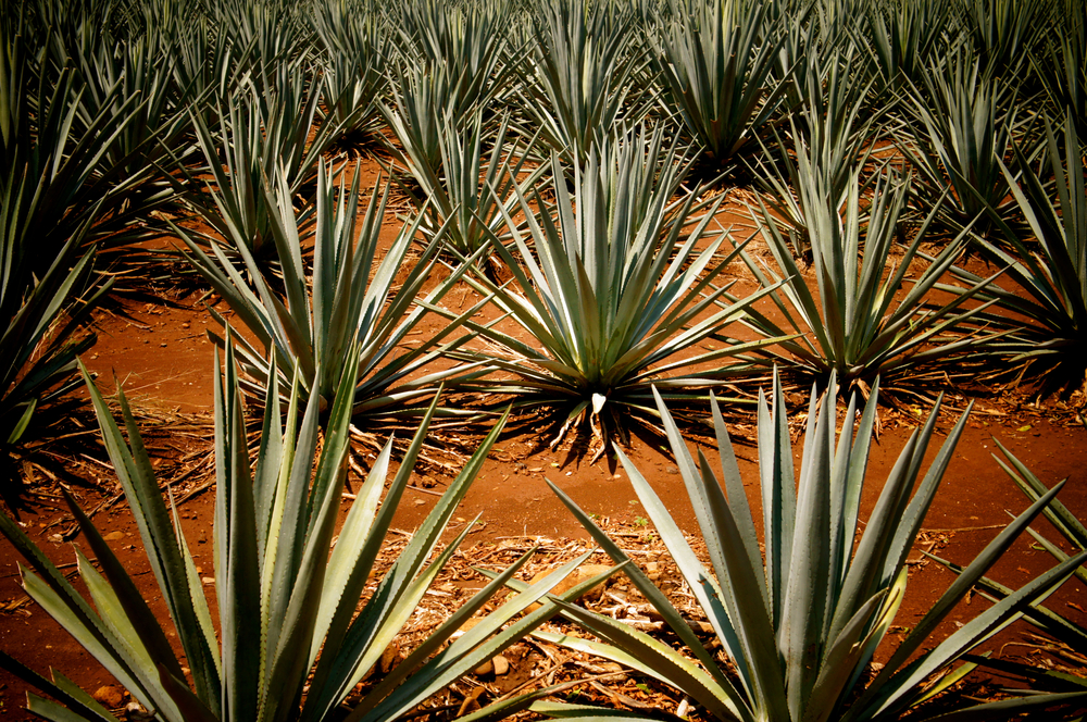 Tequila, Jalisco - Photo courtesy of La Cava del Tequila