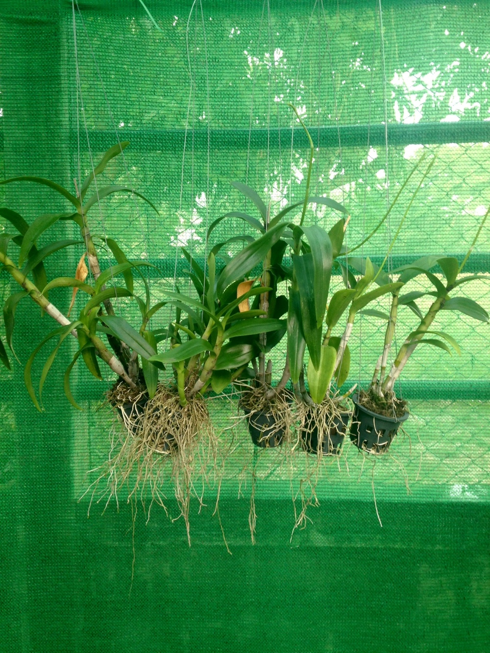 I love plants, orchids in the greenhouse, Ban Samrit