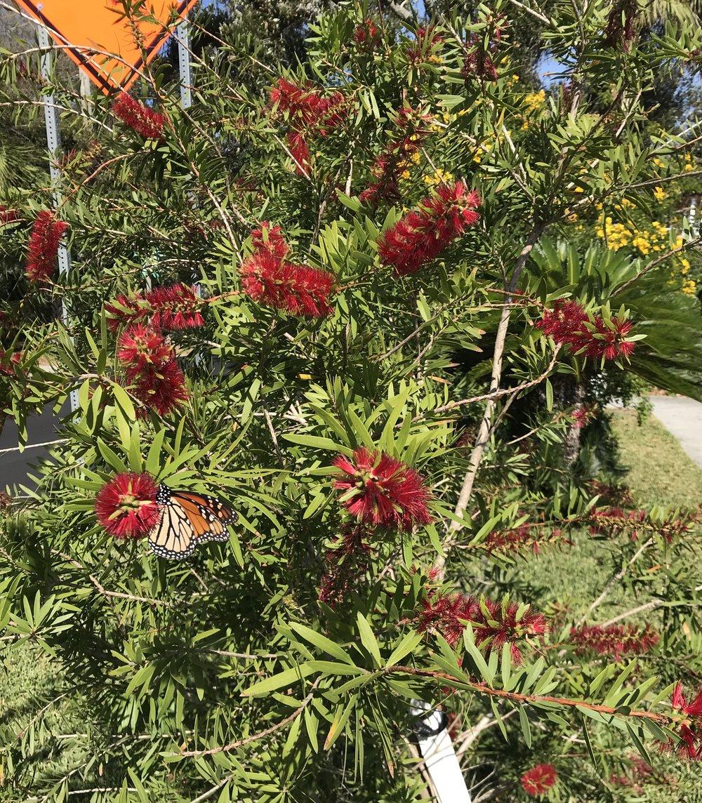Bottlebrush Tree, Tybee Island, Mid-Nov.