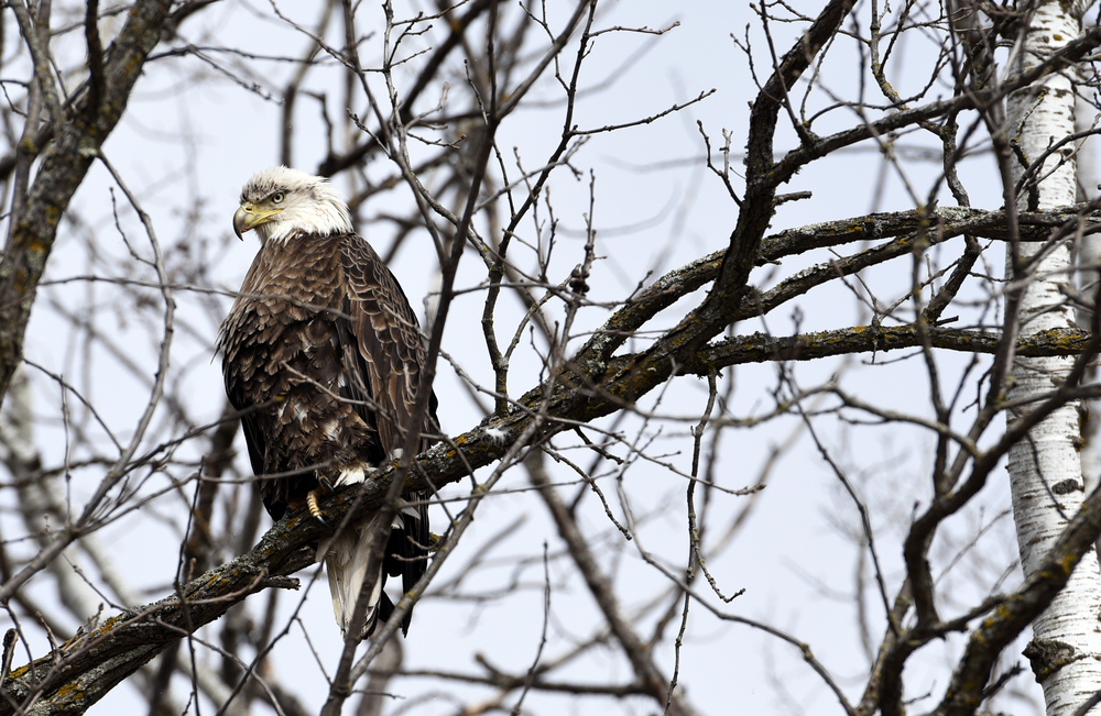 A bald eagle perches in a tree along U.S. Highway 71 in Bemidji.