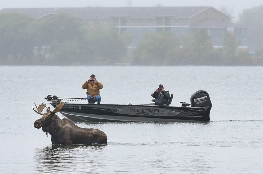A moose visited Lake Bemidji in September 2017.