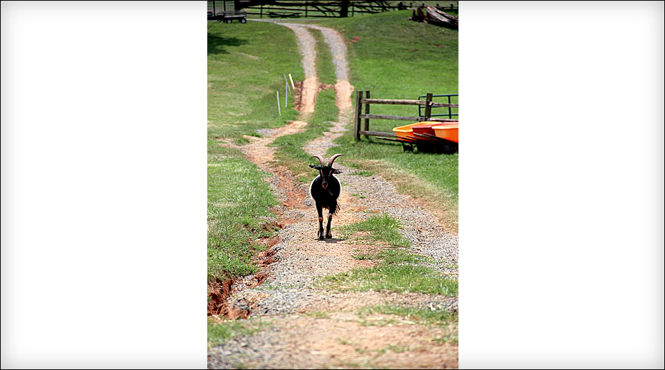 img_p_photo_goat2.png