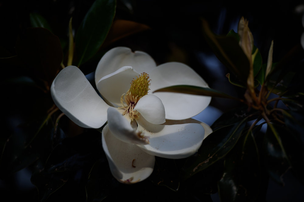 June 5, Magnolia At Twilight