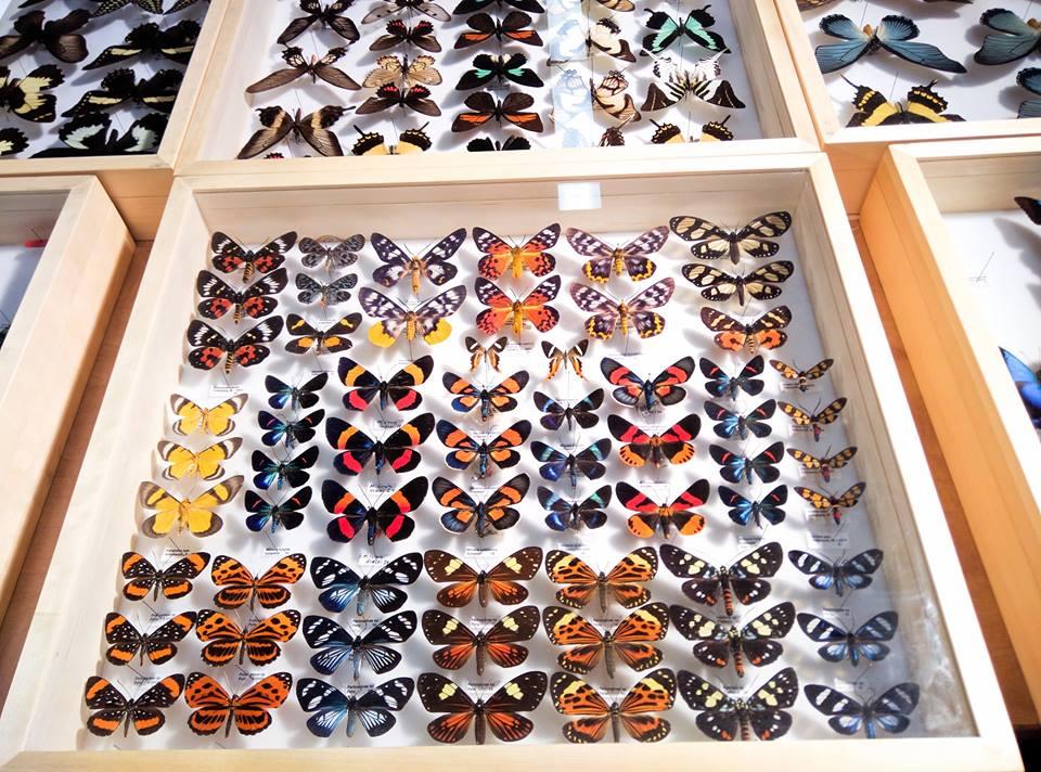 Insectes épinglés: Zoran Zlatik