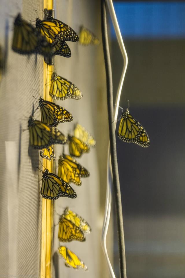 Voilière de papillons