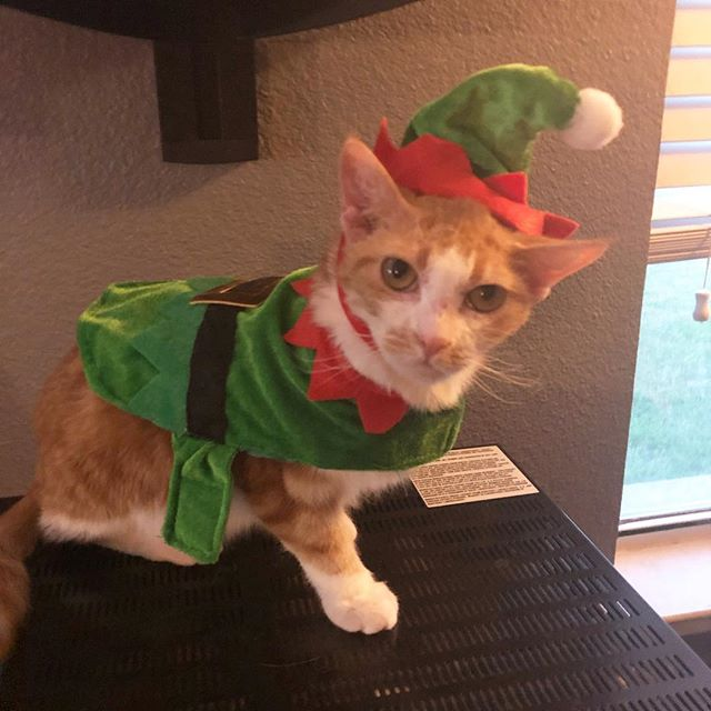 Harlem's costume got too small for him so his sister gets to wear it!  #elfcostume #kitty #catsofinstagram #cat #eevee #elf #holidayspirit #catfamily