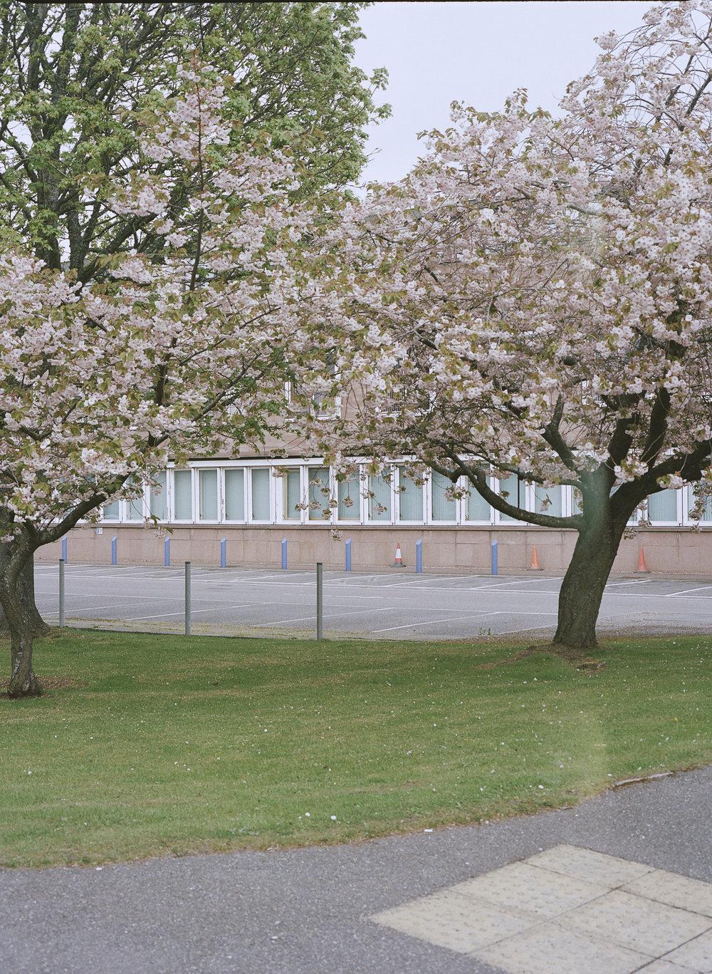 blossoms/scotland
