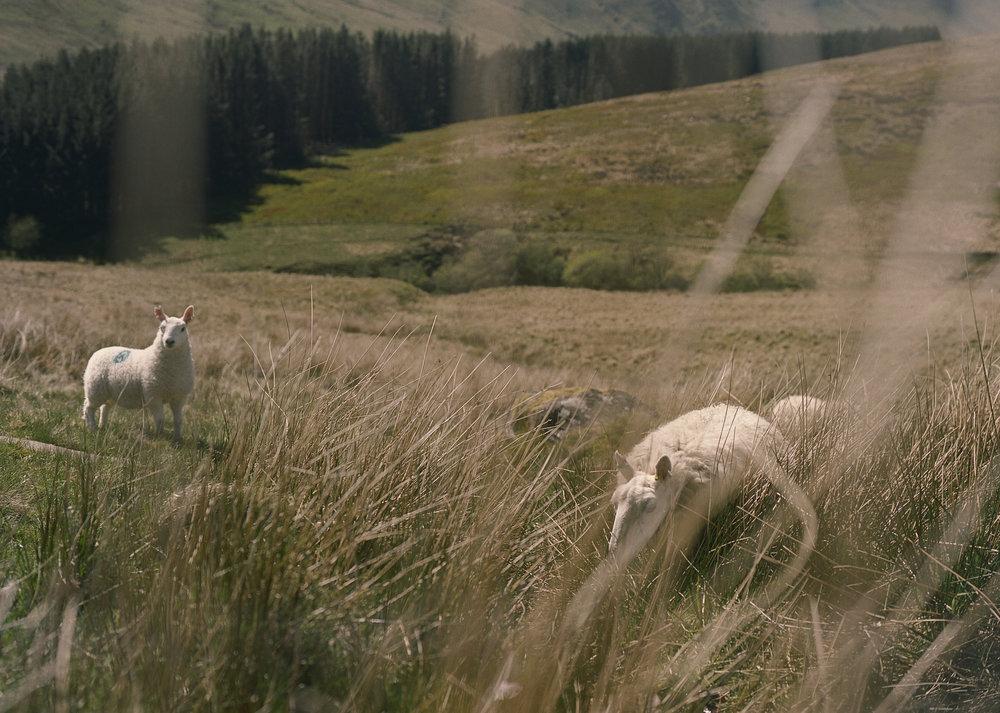 sheep/wales