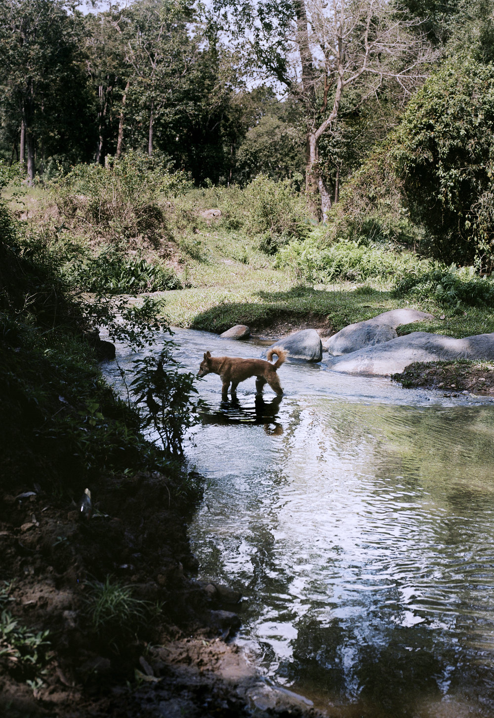 Dogs crossing river in Wayanad, India
