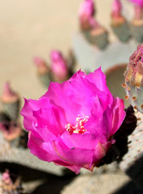 The Beavertail Cactus (Opuntia Basilaris)