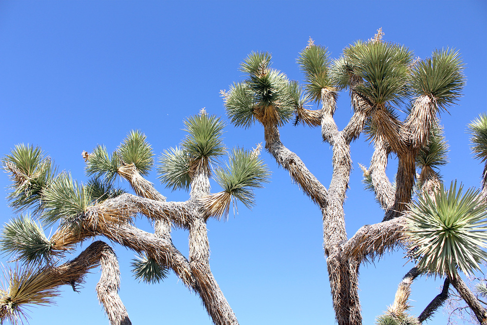 The hairy, spiky, contorted Joshua Tree (Yucca Brevifolia) from which the park is named after. <3