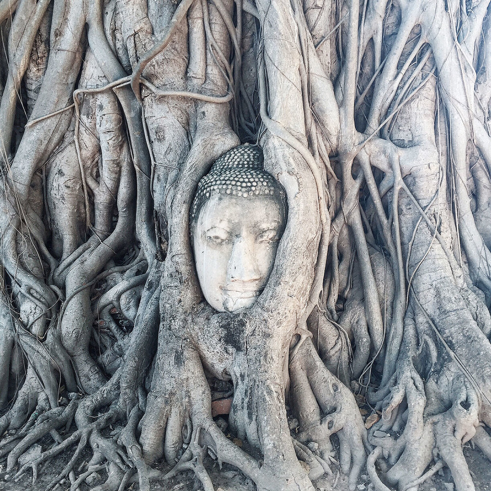 BUDDHA IN A TREE:   One of the most famous sites at the Buddhist temple   Wat Mahathat   is this Buddha head in a Banyan tree!