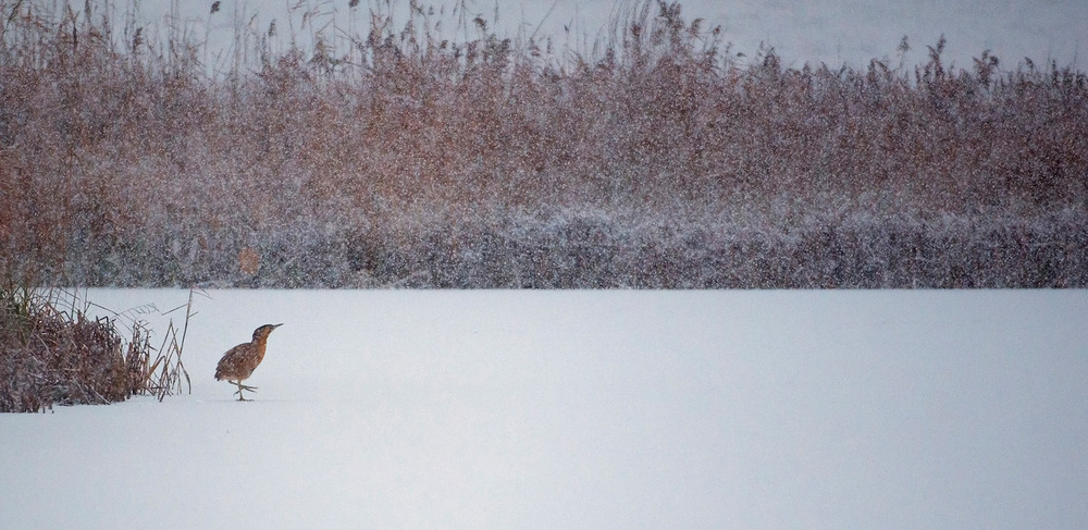 Bittern in Winter