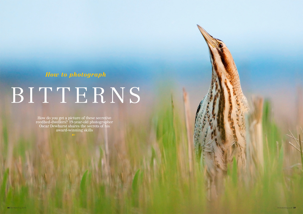 Bittern article and images