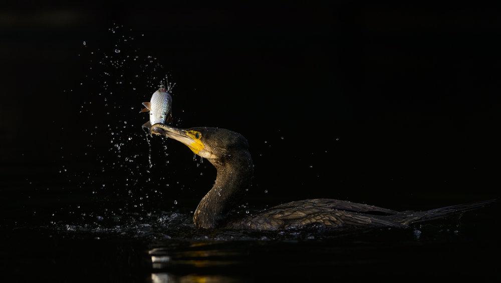 Great Cormorant (Phalacrocorax carbo), immature bird with fish prey, London, 01/14