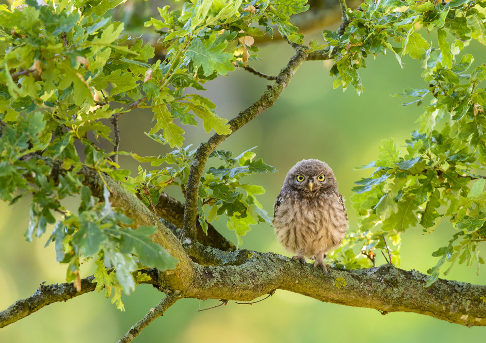 Little Owl (Athene noctua) immature perched on oak tree, London. 07/15. Cropped