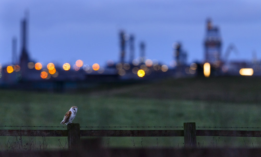 Barn Owl (Tyto alba) perched on fence post at dusk, with industrial estates of Teeside in the background. 02/16.