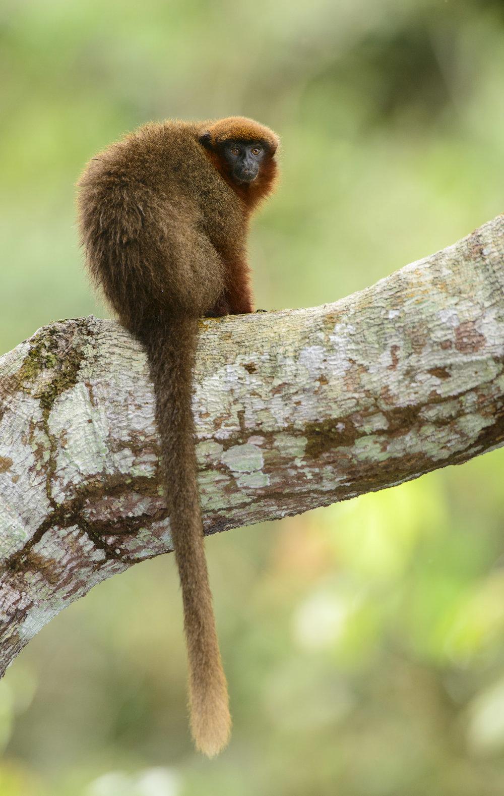 Dusky Titi (Callicebus moloch) in Peruvian Amazon. 03/14