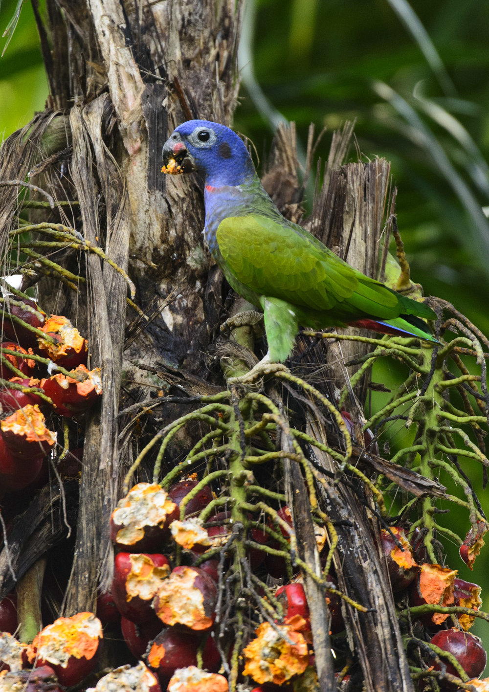 Blue-headed Parrot (Pionus menstruus) feeding on palm fruit in the Peruvian Amazon, 03/14/ Cropped