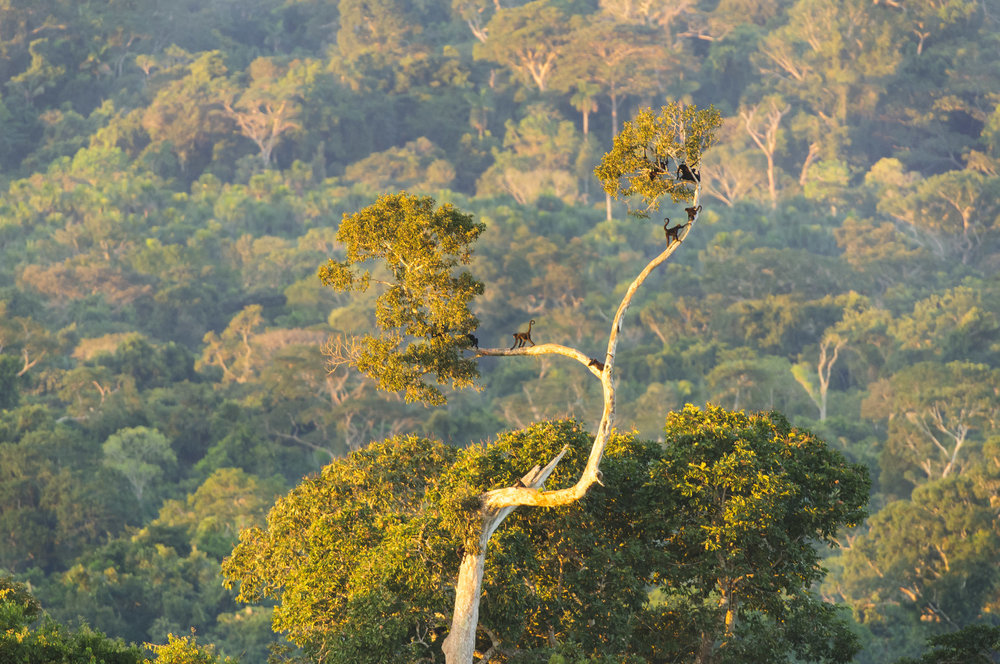 Peruvian Spider Monkeys (Ateles chamek) in the Peruvian Amazon, at sleeping roost. 04/14