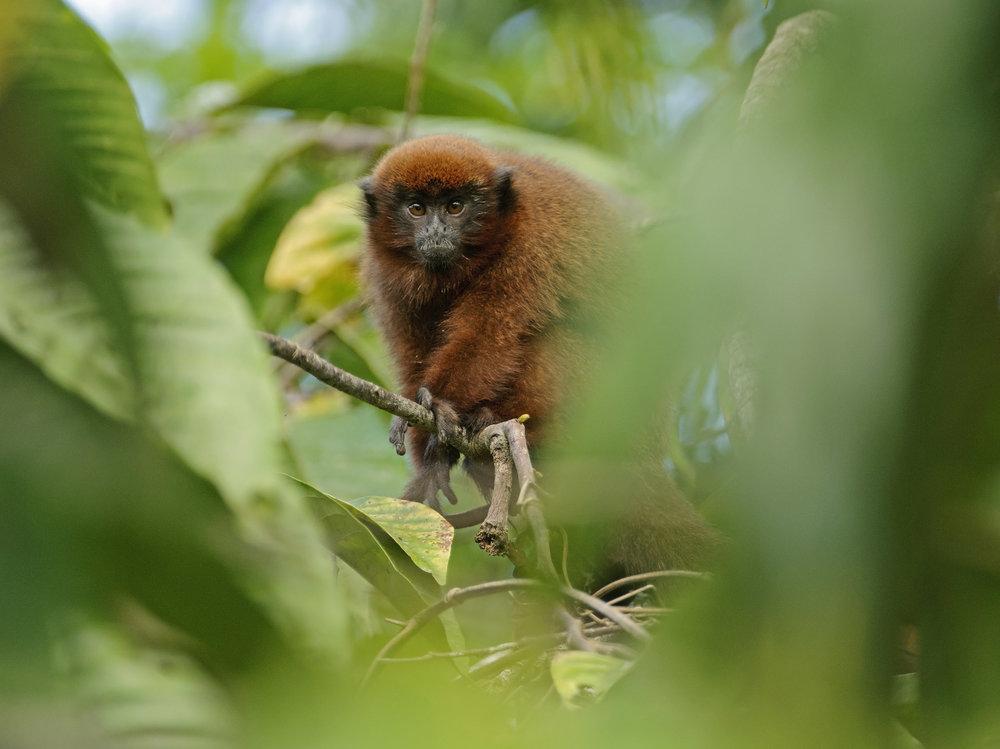 Dusky Titi (Callicebus moloch), in the Peruvian Amazon, 03/14.