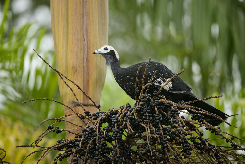 Blue-throated Piping-Guan (Pipile cumanensis), feeding on palm fruits in the Peruvian Amazon, 03/14