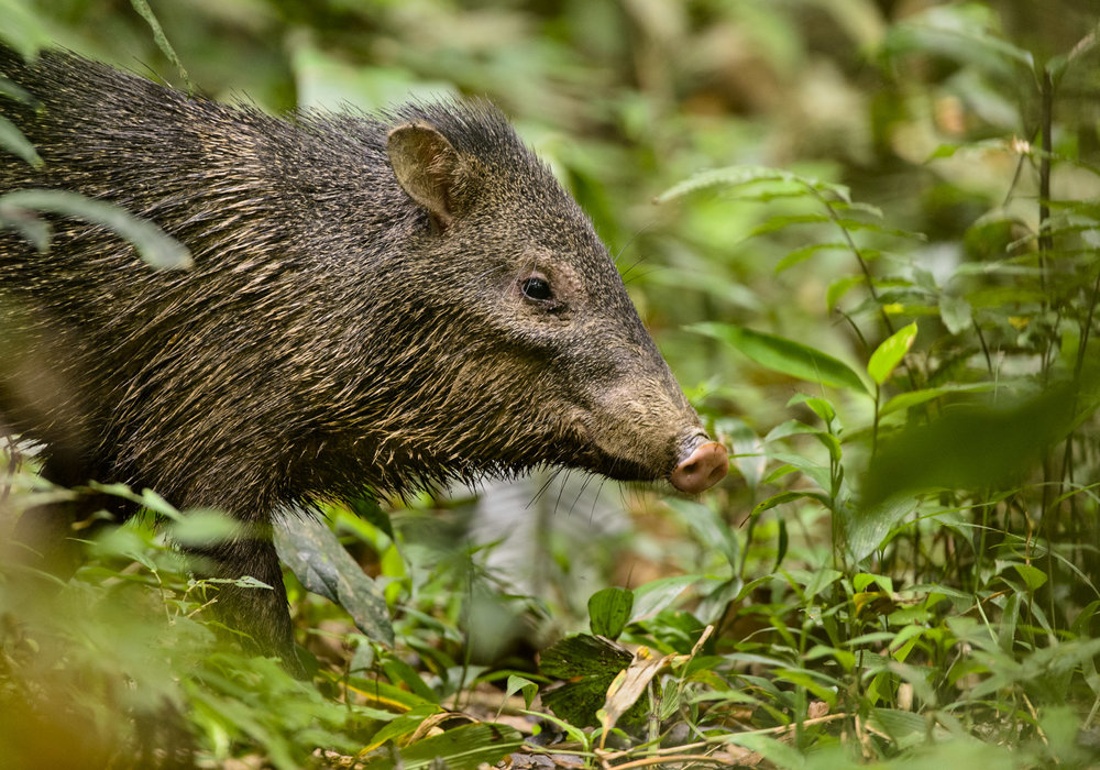 Collared Peccary (Pecari tajacu), standing in Peruvian Amazon, 03/14