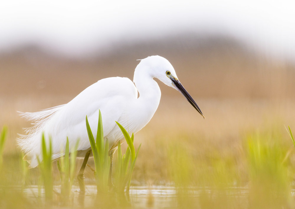 Little Egret (Egretta garzetta) with deformed bill fishing in marshland, Suffolk. 03/16.